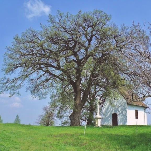 A bátaszéki molyhos tölgy lett az év fája Európában