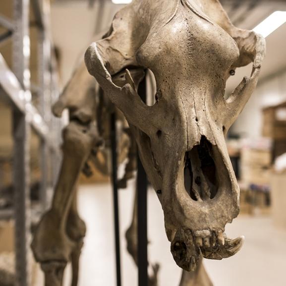 Magyar mamuttal és jégkorszaki őslovakkal szemeztem a múzeum alagsorában