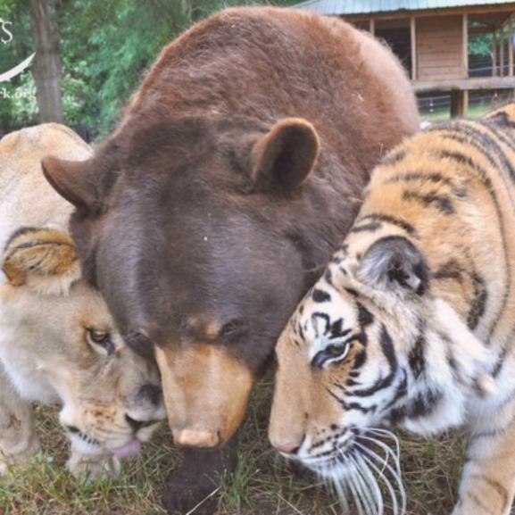 Egy különös barátság megható története: így él együtt három ragadozó