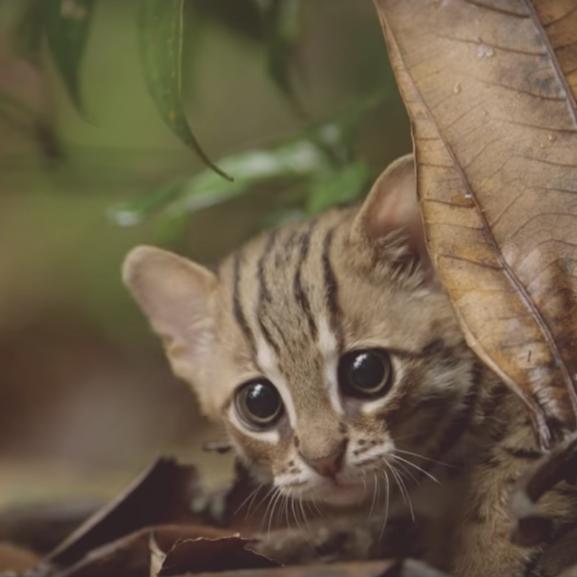 a világ legkisebb vadmacskája
