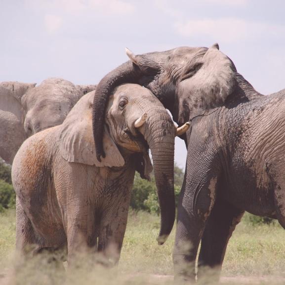 Mi a közös az emberekben és az elefántokban? Hát a nagymamák!