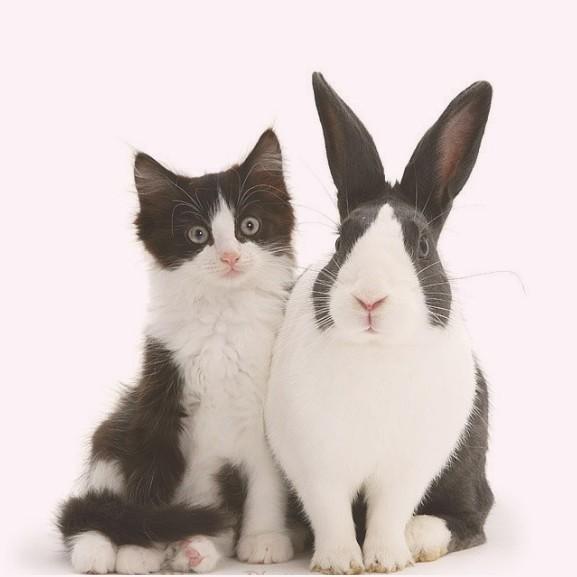 állat nyúl macska cica
