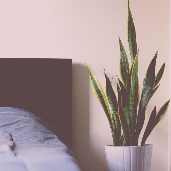 anyósnyelv szobanövény