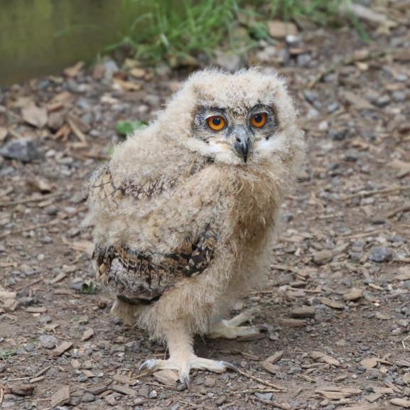 baby-owl-2643579_1920