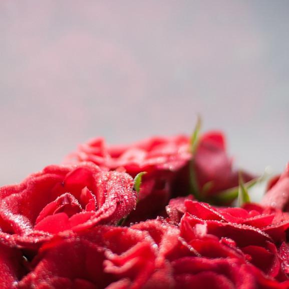 blooming-roses-2686637_1920