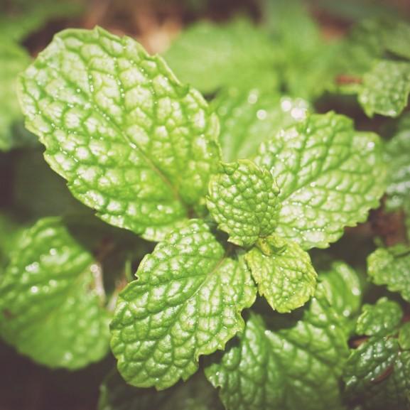 borsmenta gyógynövény fűszernövény