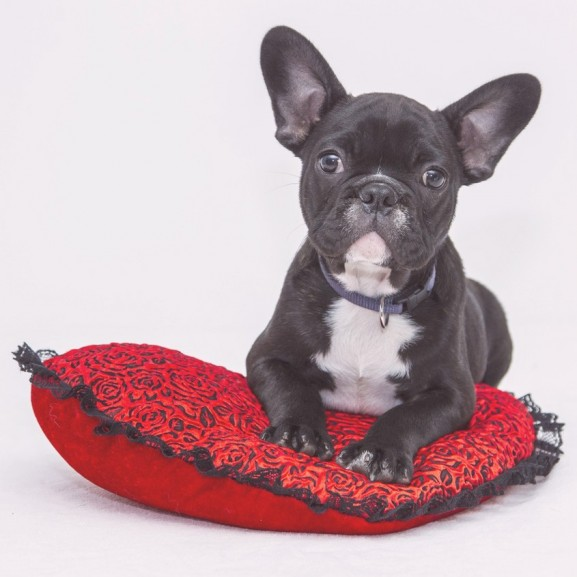bulldog kutya fotó