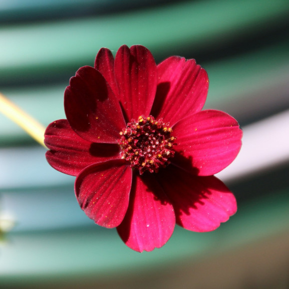 chocolate-flower-573299_1920