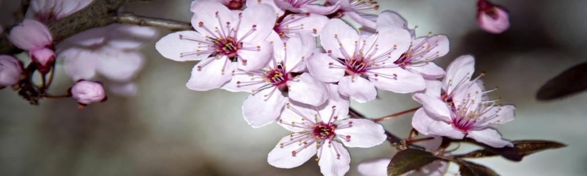 Cseresznyefesztivál – virágzástól befőzésig
