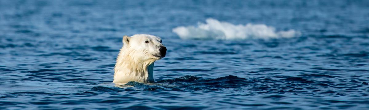 Ünnepeljük a jegesmedvéket: ma van a jegesmedvék nemzetközi világnapja