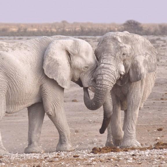 elefánt állat