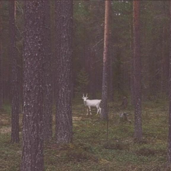 feher-renszarvas-albino