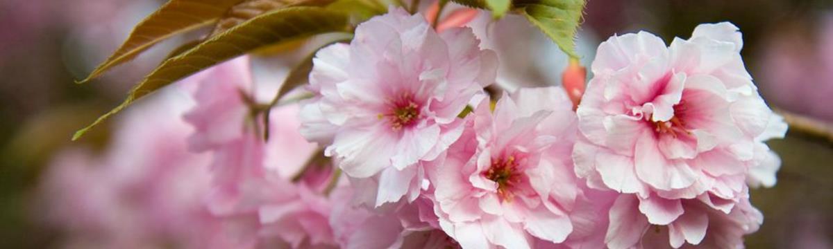 """""""Olyan, mint az élet: rövid és gyönyörű"""" – Japán cseresznyevirágzás testközelből"""