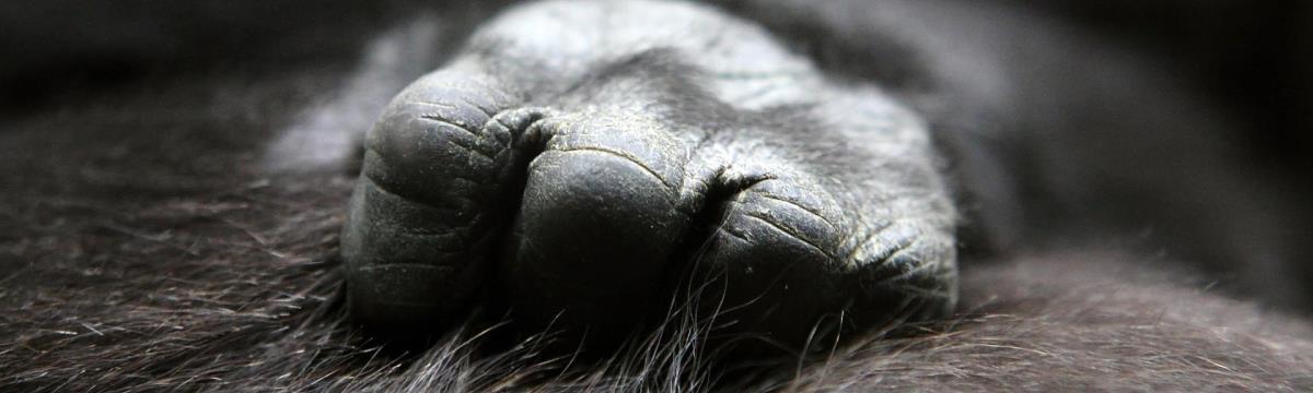 Őrülten cuki ajándékot kapott a világ legokosabb gorillája