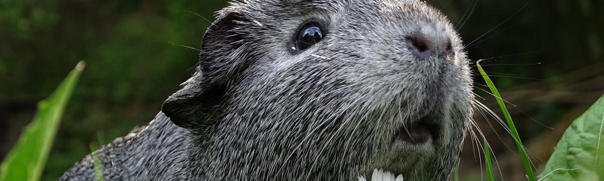guinea-pig-3336994_1920 (1)