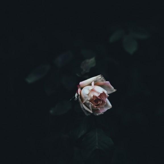 halál rózsa