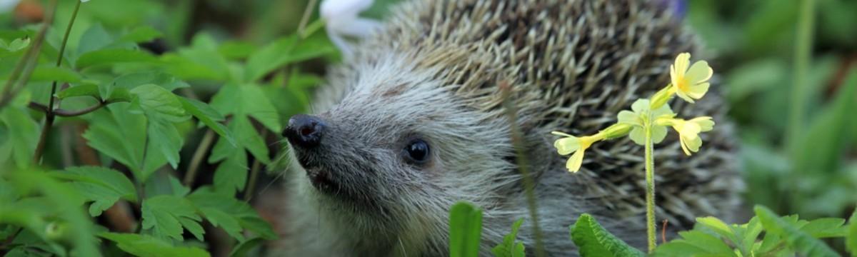 hedgehog-spring-animal-large