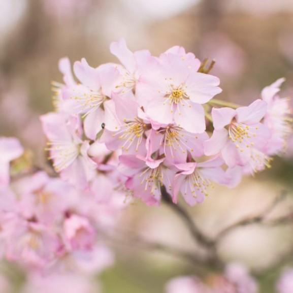 japán cseresznyefa virágzás
