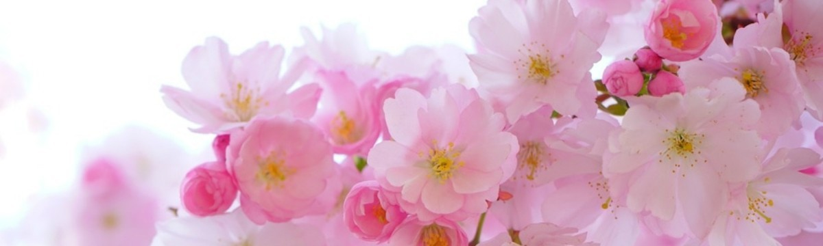 japanese-cherry-trees-flowers-spring-japanese-flowering-cherry-54630-large