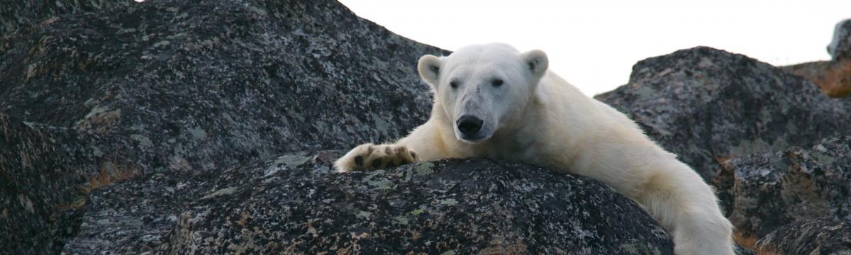 jeges-medve-feher-allat-eszaki-sark