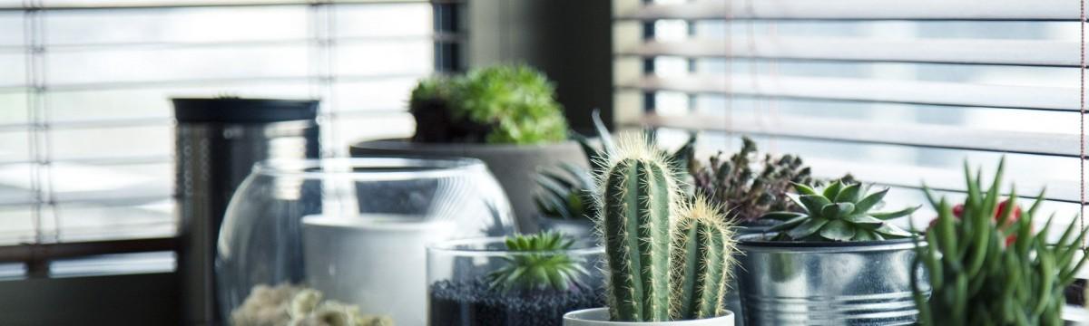 kaktusz ablak