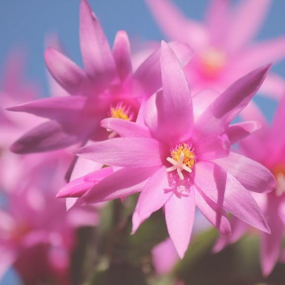 karácsonyi kaktusz virág növény