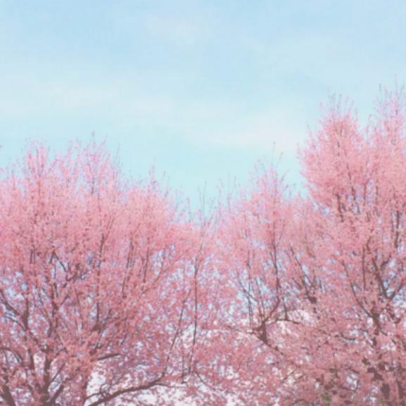 Varázslatos fotók: cseresznyevirágba borult az egész világ