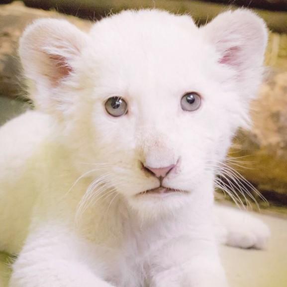 kis oroszlán