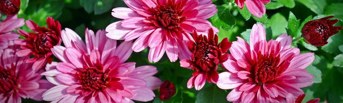 krizantém ősz virág