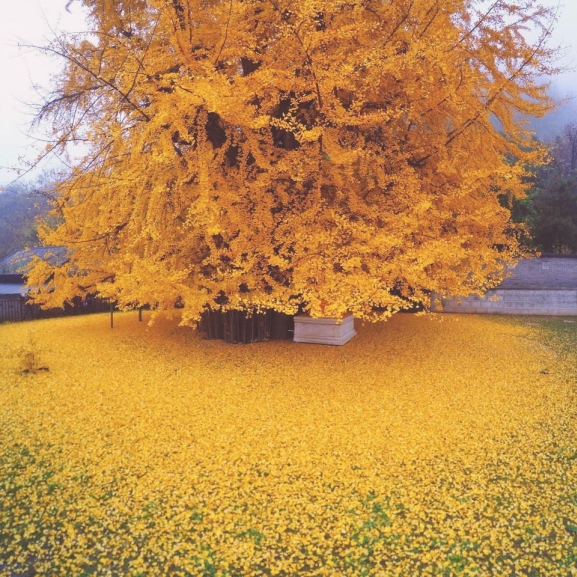 Elképzelni se lehet szebbet: aranyló leveleket hullajt ez a fa