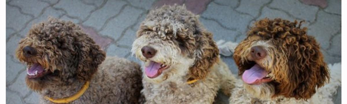 Lagotto romagnolo – Egy kutyafajta, aminek a szarvasgomba-keresés az élete