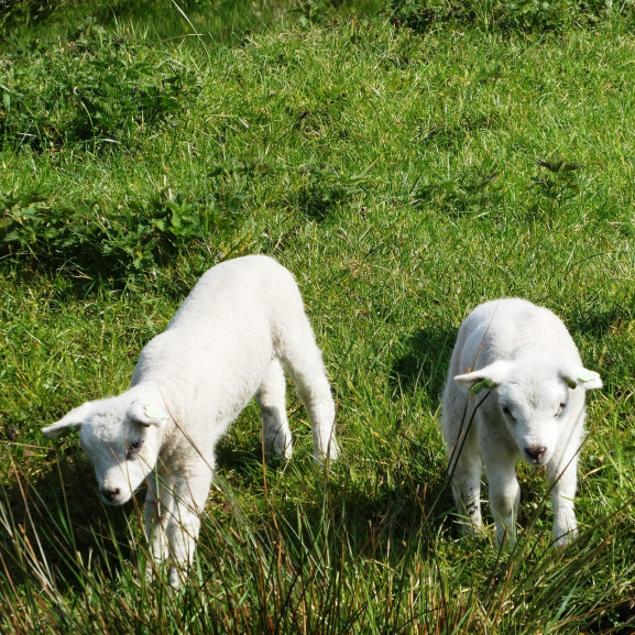 lambs-4103900_1920