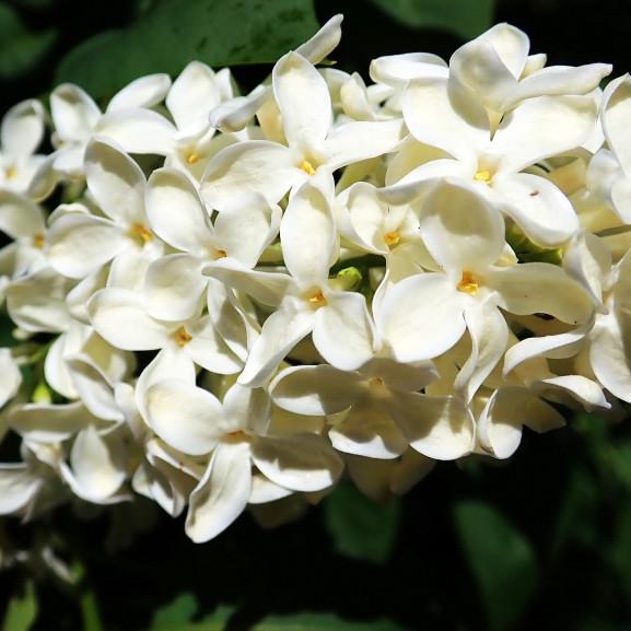lilac-3966402_1920