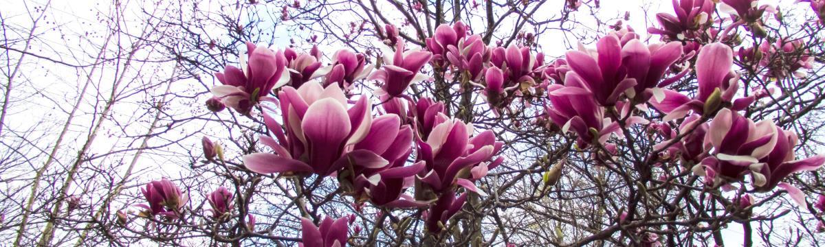 A cseresznyefán túl is van virágzás: ismerjétek meg a magnóliát!