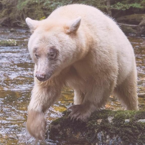 medve-macko-national-geographic-paul-nicklen