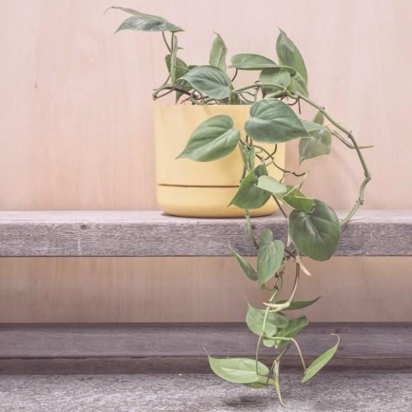 növény virág Kúszó filodendron