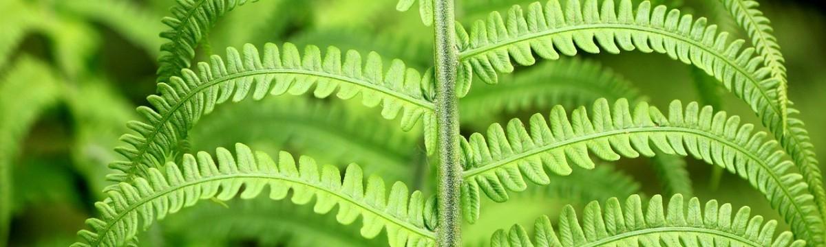 páfrány zöld növény