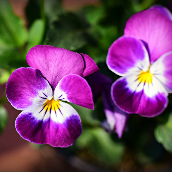 pansy-4125943_1920
