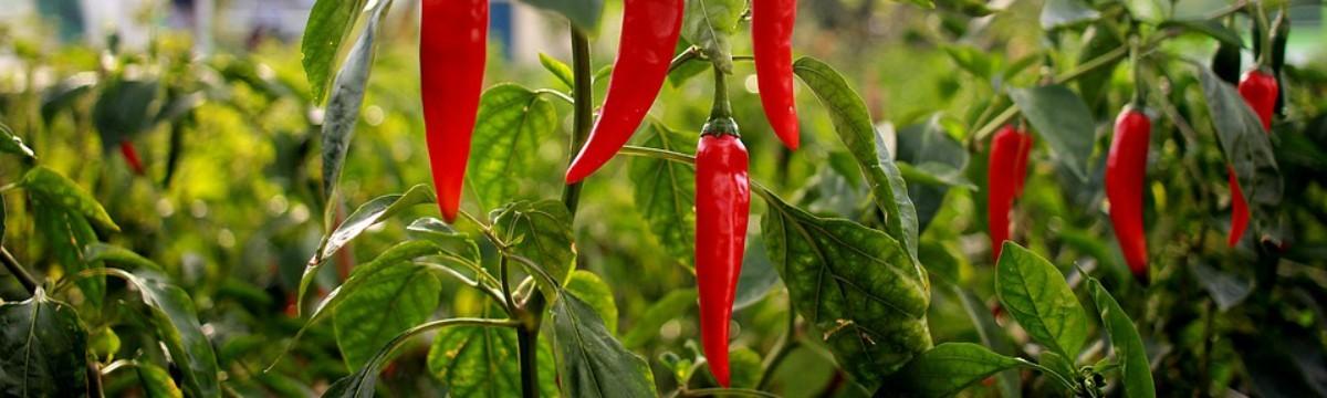 pepper-1704266_960_720