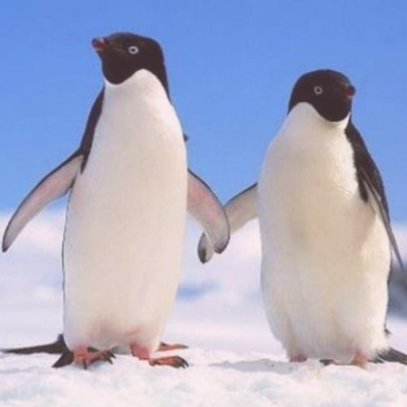 pingvin-cuki-allatok