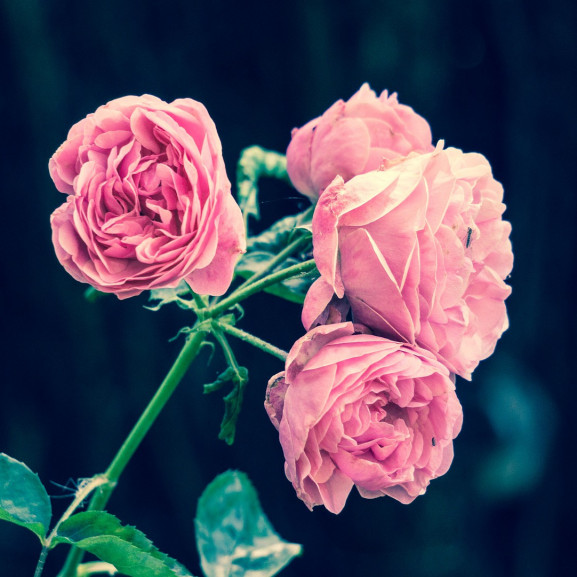 pink-roses-2533389_1920