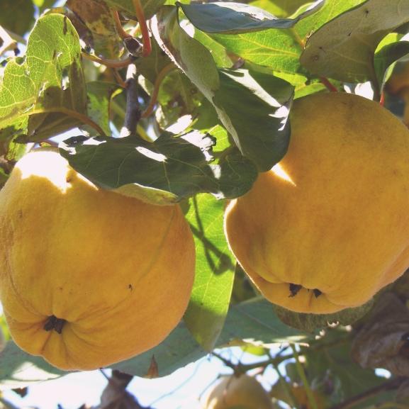 Az ősz zamatos gyümölcse: a birsalma – Így fogyasszátok!