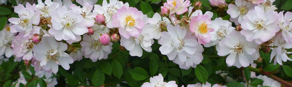 rose-142435_1920