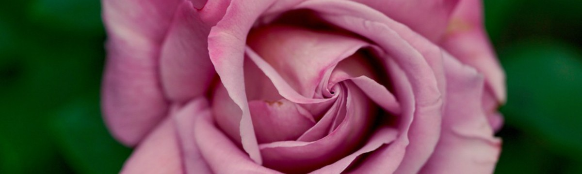 rose-pink-nature-leaves-large