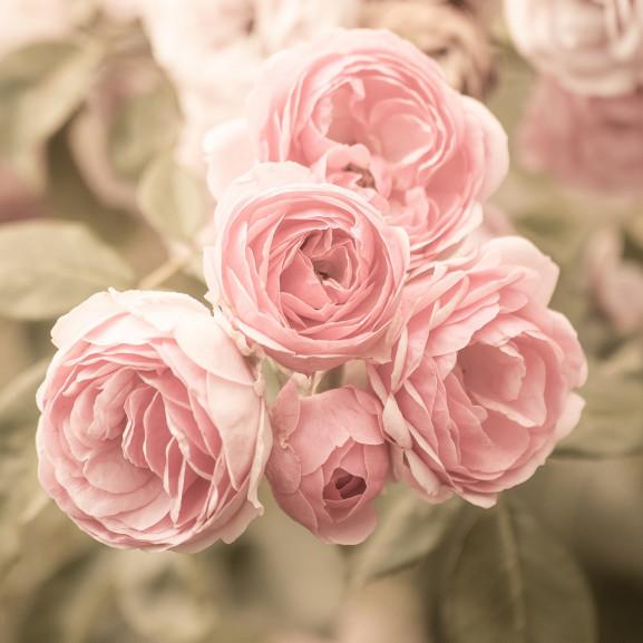 roses-4329209_1920