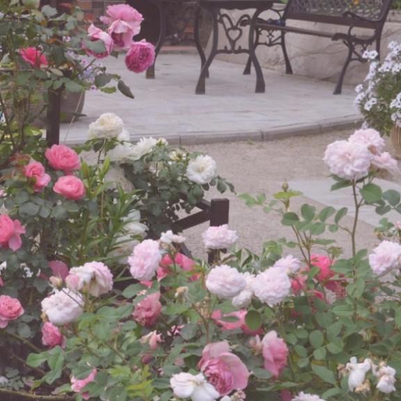 rózsa virág kert