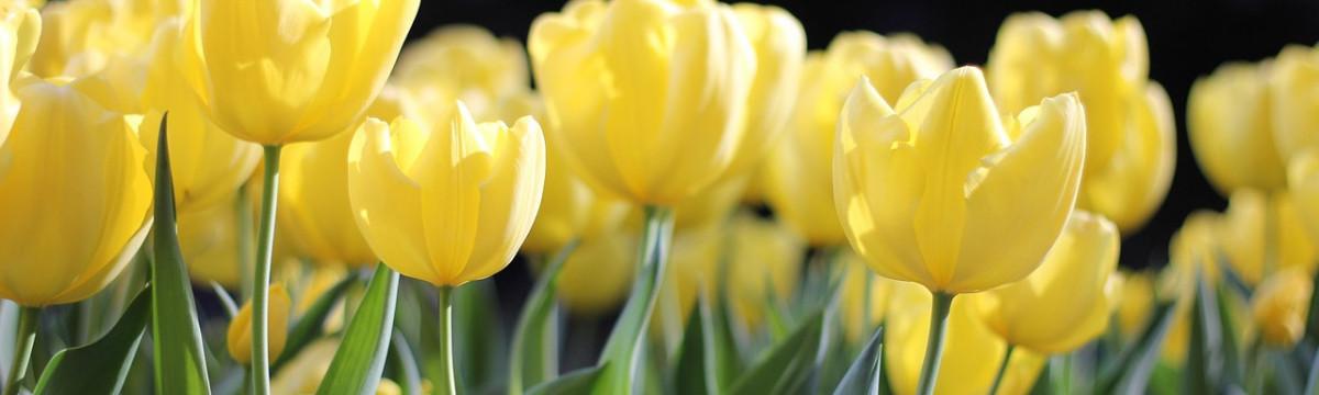 sárga tulipán