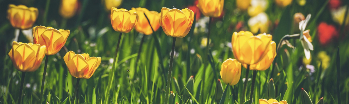 tulips-4158807_1920