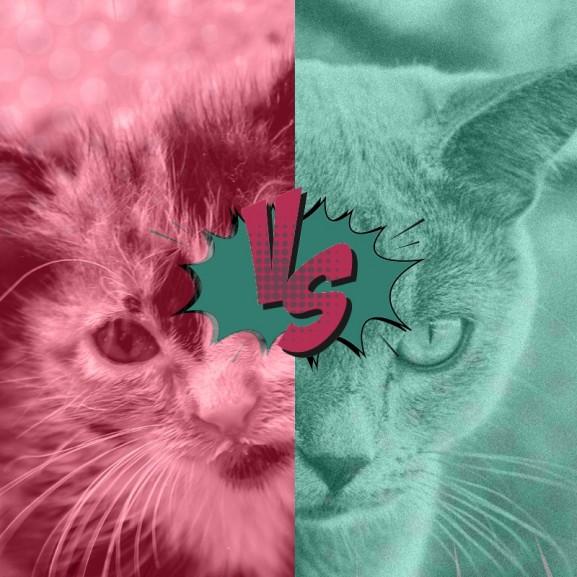 Turánszki Emőke  állat házi macska kontra tenyész cica