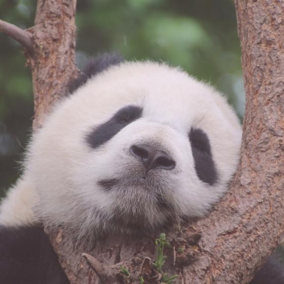 Támadnak a pandák: most a ti szíveteket is elrabolják